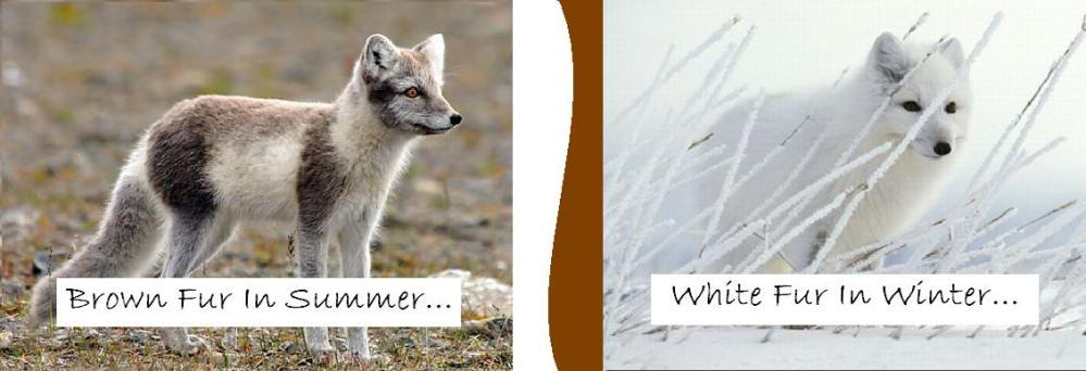 Arctic Fox (2/4)