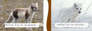 Arctic Fox Fur Changes