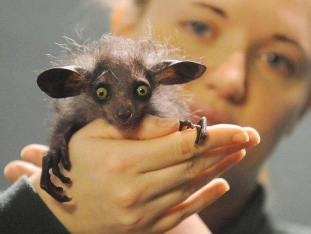 animals creatures strange unusual aye creature creepy rare unique odd bizarre madagascar strangest species most bad baby bristol zoo rodent
