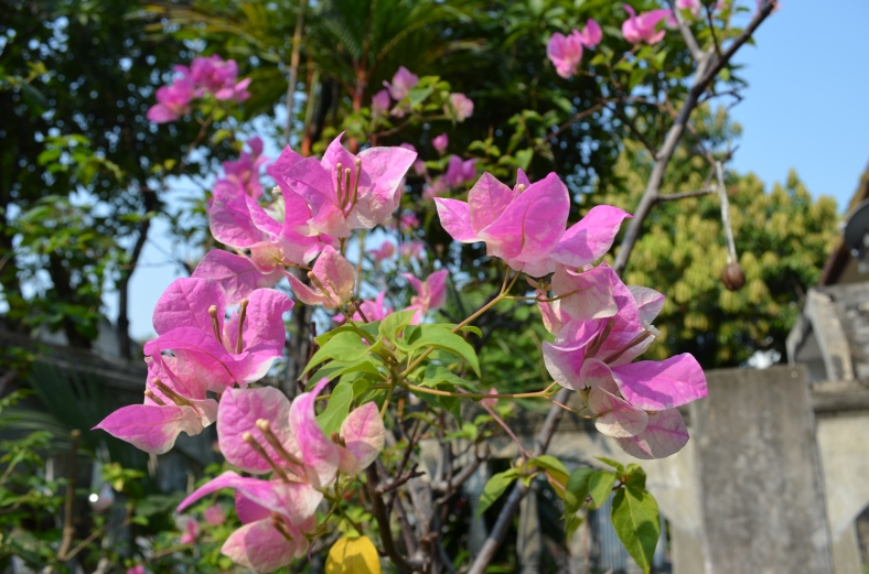 Bougainvilleas in my garden.